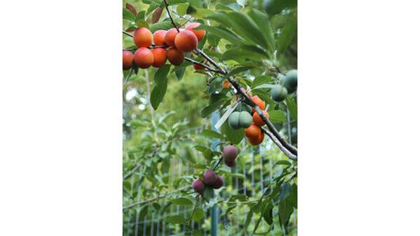 foto arbol 40 diferentes frutas El maravilloso árbol donde crecen más de 40 tipos de frutas