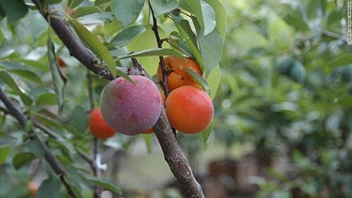 fruta del arbol 40 frutas El maravilloso árbol donde crecen más de 40 tipos de frutas
